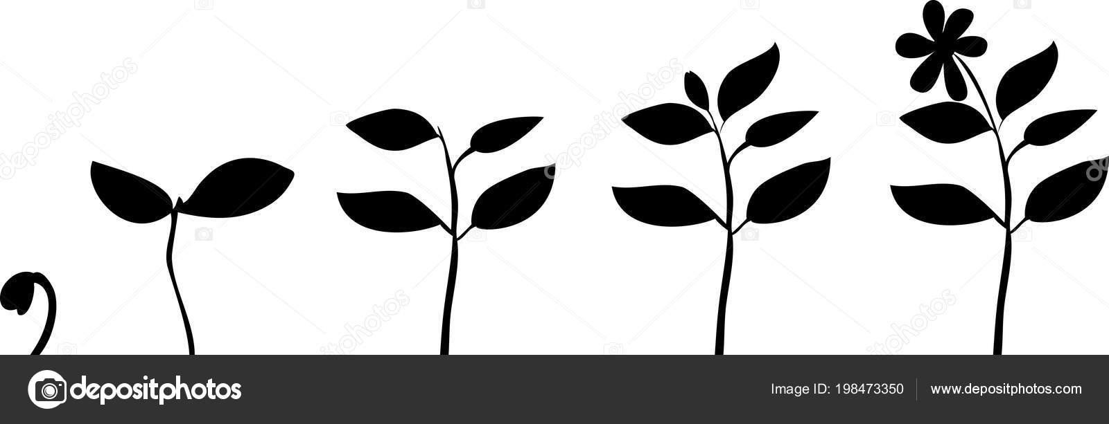 Schema Croissance Fleur Silhouettes Plantes Image Vectorielle