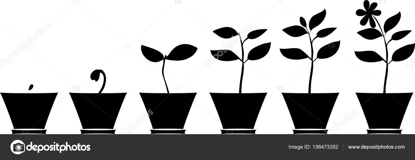 Schema Croissance Fleur Silhouettes Plantes Dans Pot Fleurs Image