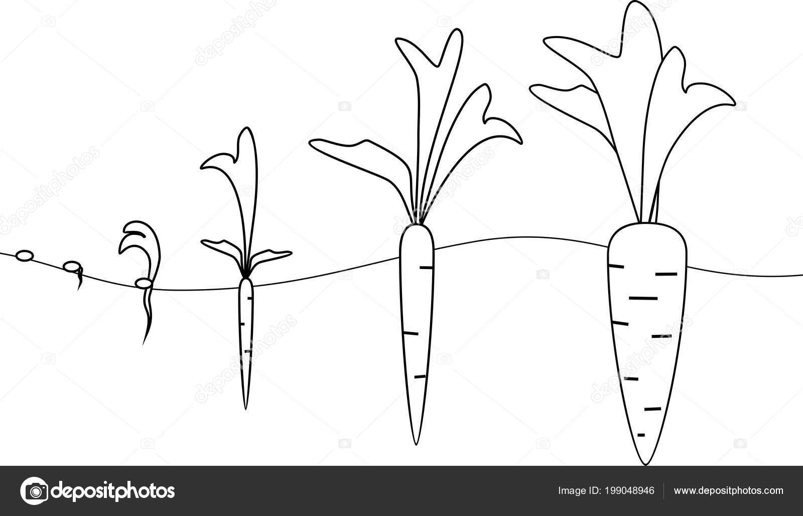 Imágenes Zanahoria Para Iluminar Etapas Crecimiento Zanahoria