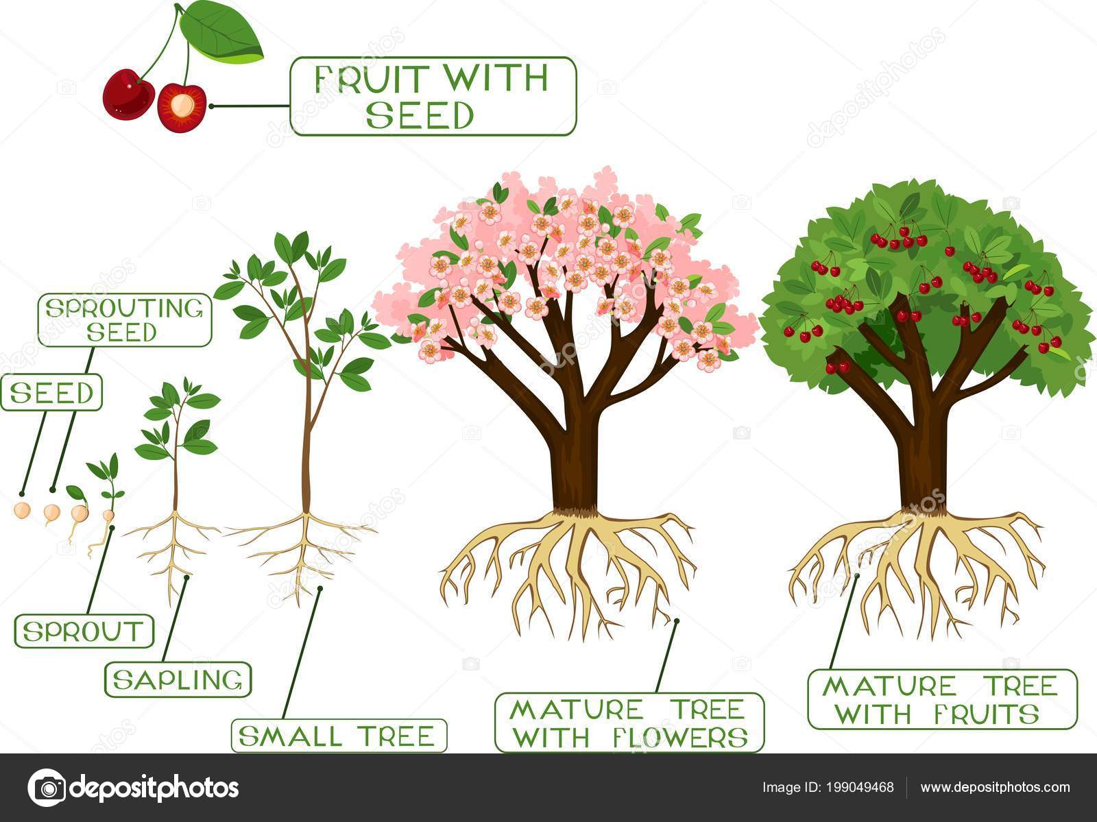 Жизненный цикл дерева картинка