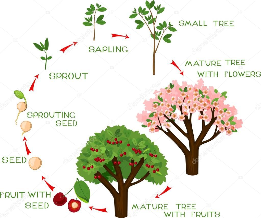 Life cycle of cherry tree with captions. Plant growing from seed to cherry-tree