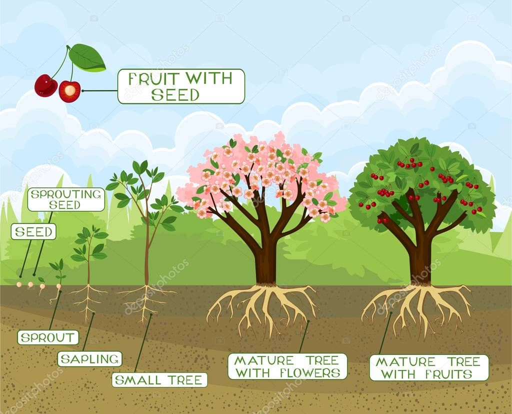 Plant growing from seed to cherry tree with captions. Life cycle of tree. Tree with root system