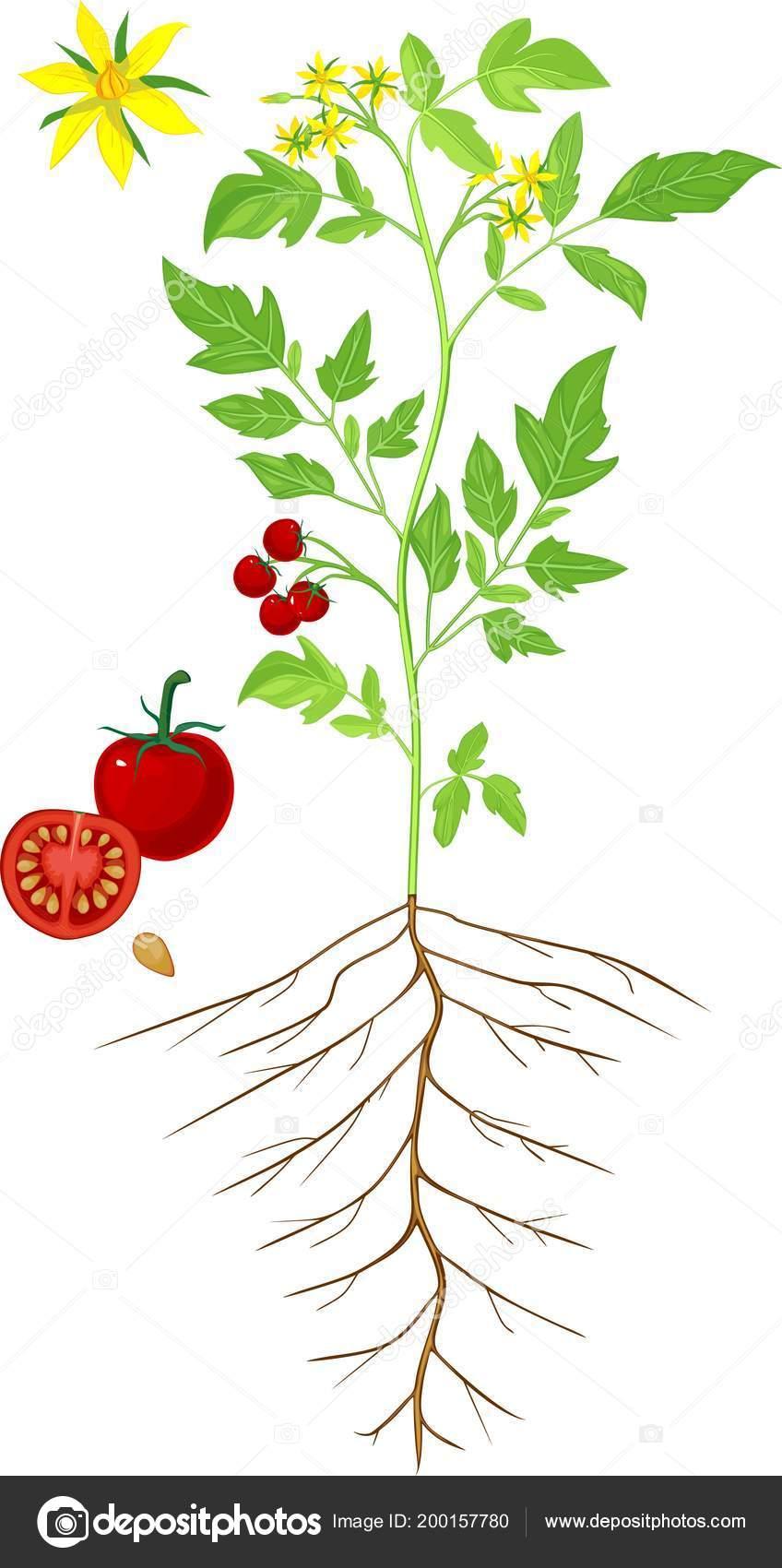 Parts Plant Morphology Flowering Tomato Plant — Stock Vector ...