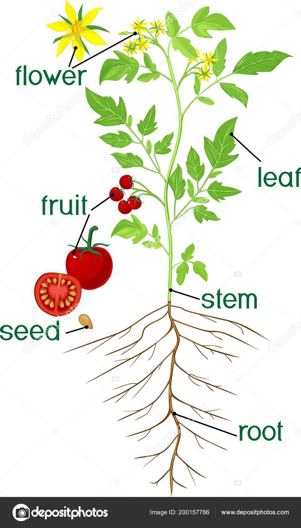 Parts Plant Morphology Flowering Tomato Plant Title — Stock Vector ...