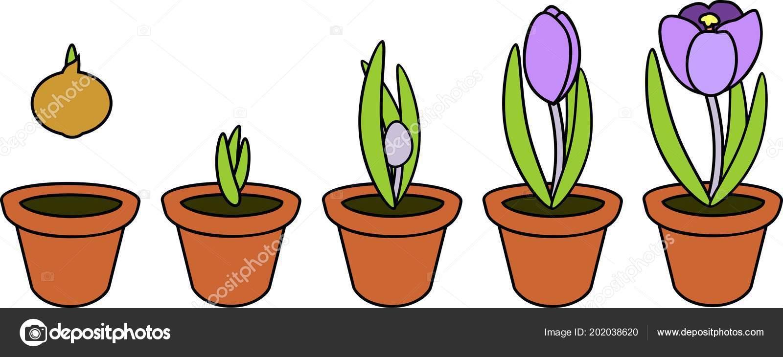 Coloriage Fleurs Bulbe.Cycle Vie Crocu Stades Croissance Plantation Bulbe Pot Fleurs Plante