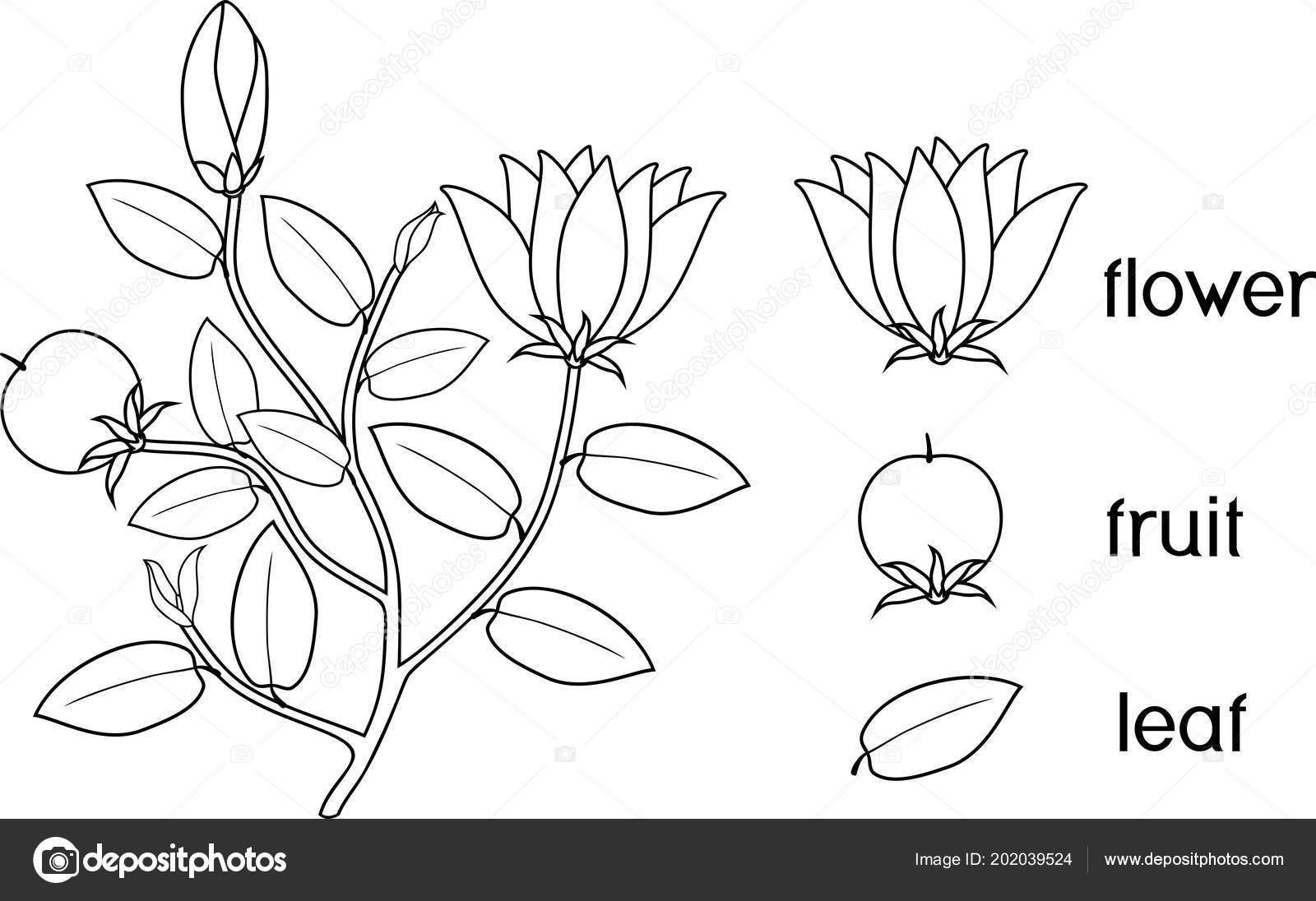 Página Para Colorear Partes Planta Morfología Plantas Con