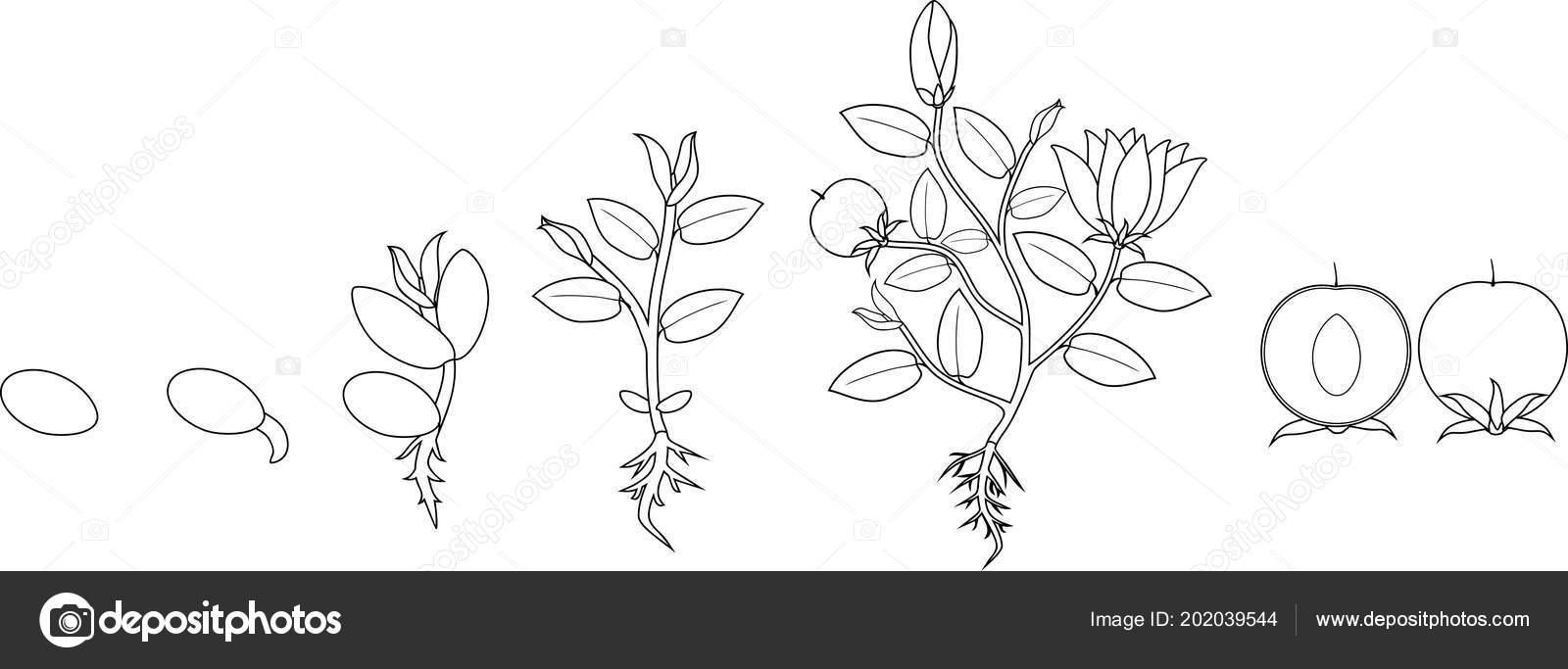Página Para Colorear Etapas Crecimiento Planta Desde Semilla