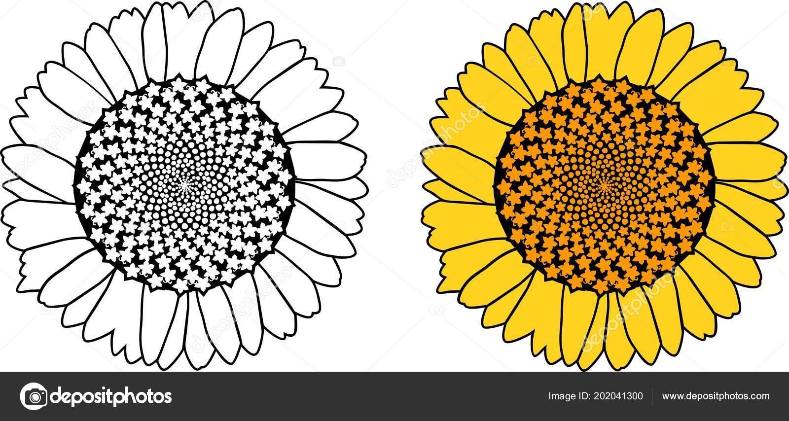 Kleurplaten Zonnebloemen.Zonnebloem Kleurplaat Bloem Geisoleerd Witte Achtergrond