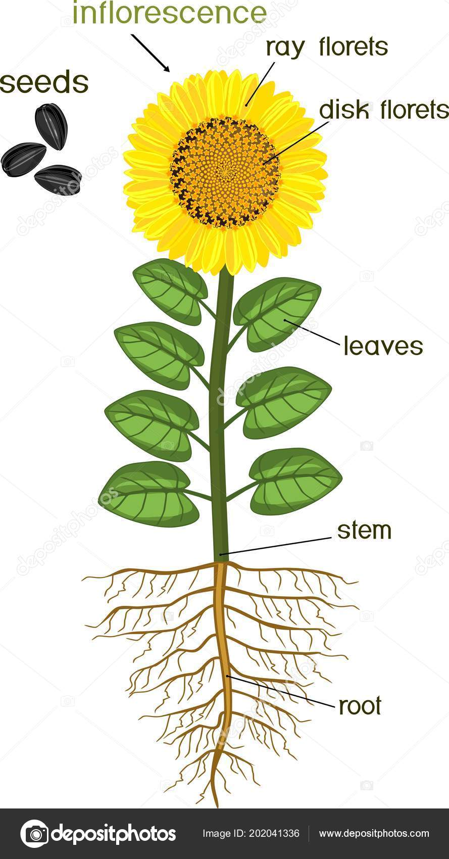 sunflower parts diagram wiring diagram project sunflower disc parts diagram sunflower parts diagram #2