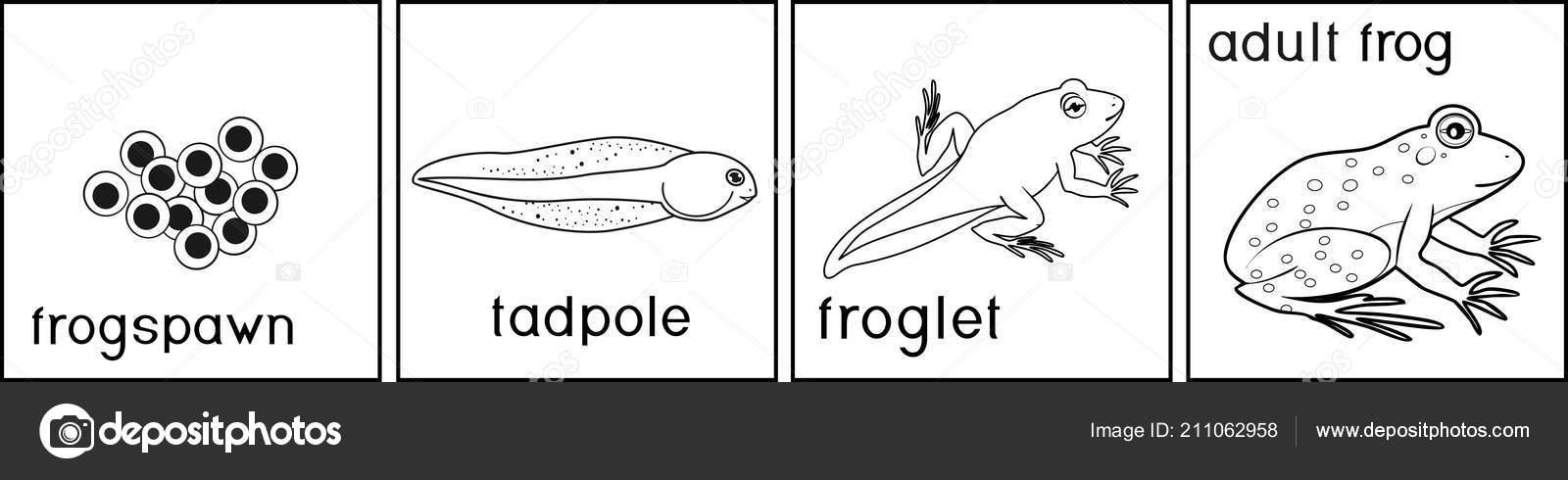 malvorlage entwicklung frosch  coloring and malvorlagan