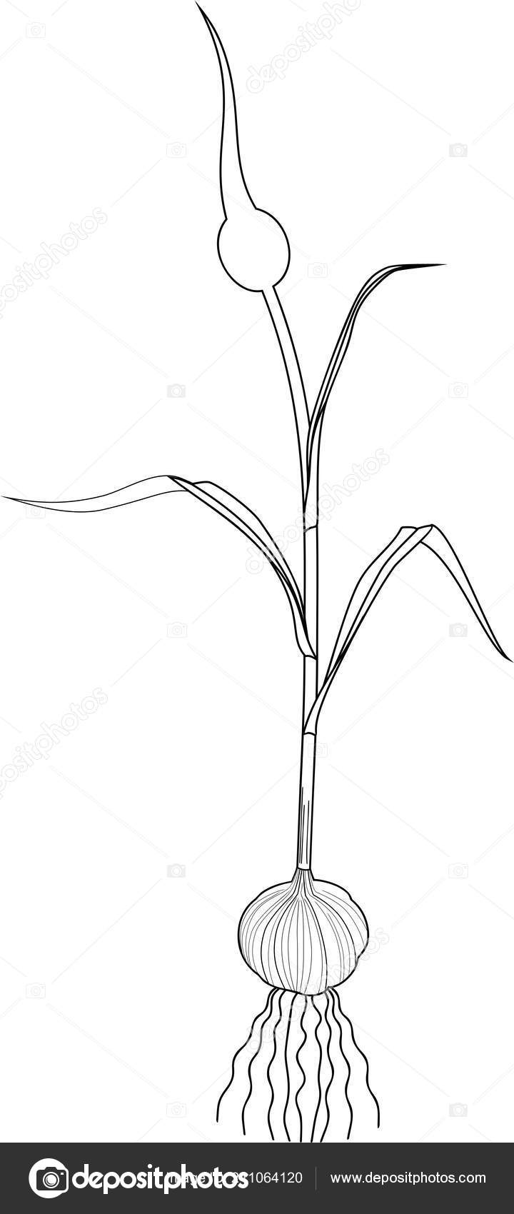 Página Para Colorear Planta Ajo Con Bulbo Tallo Flores Sobre
