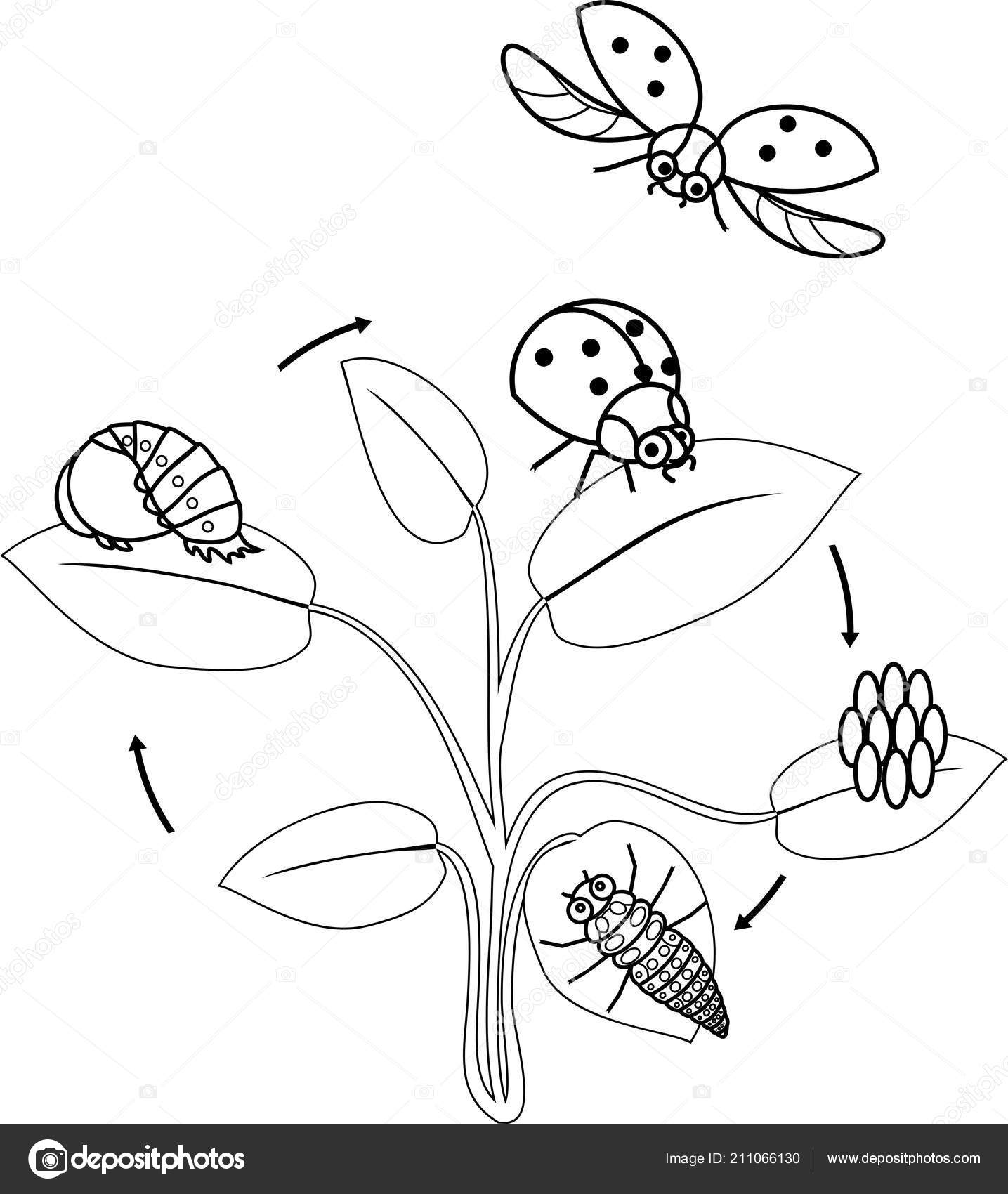 Life Cycle Ladybug Coloring Page Sequence Stages Development Ladybug