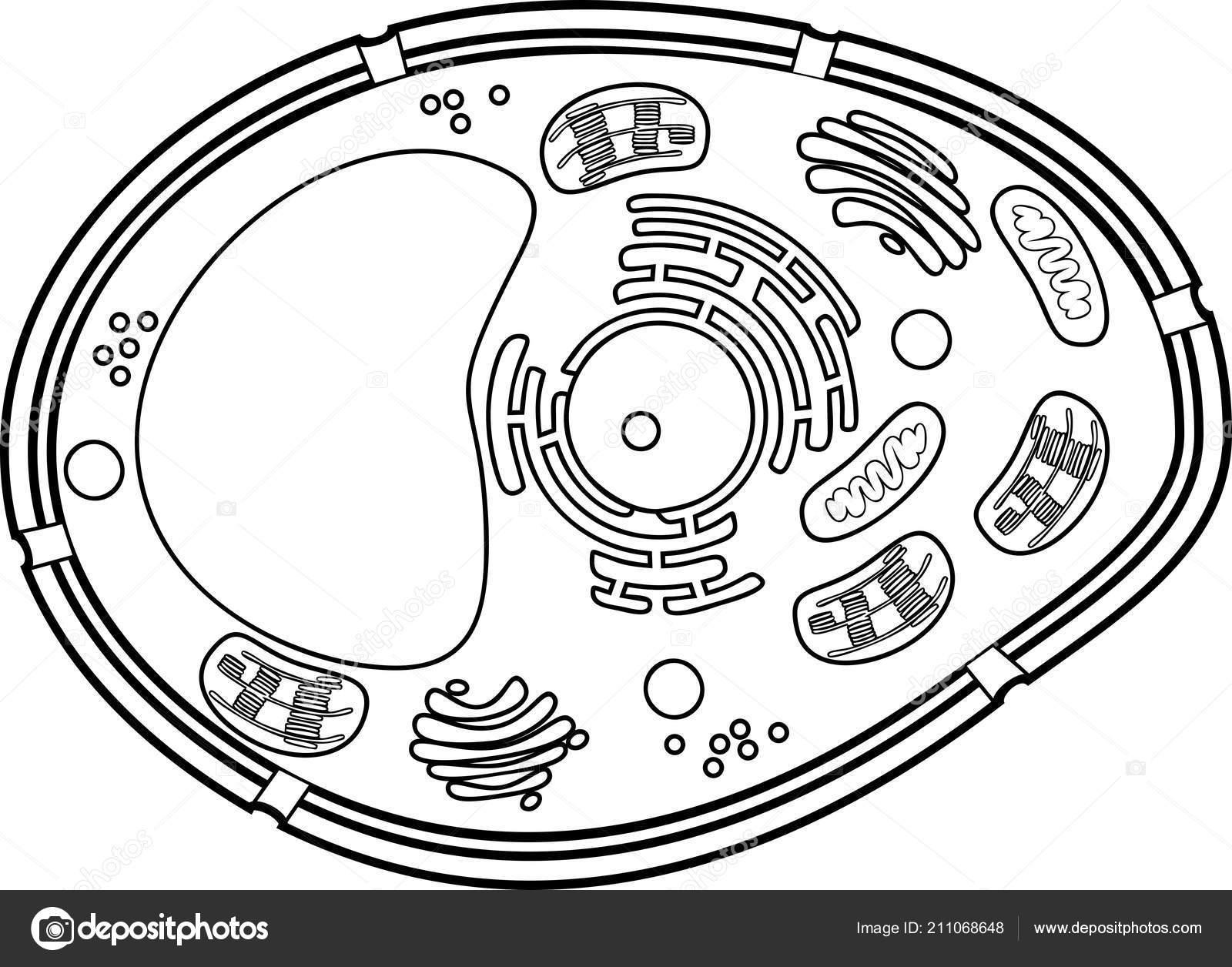 Página Para Colorear Estructura Célula Vegetal Vector De