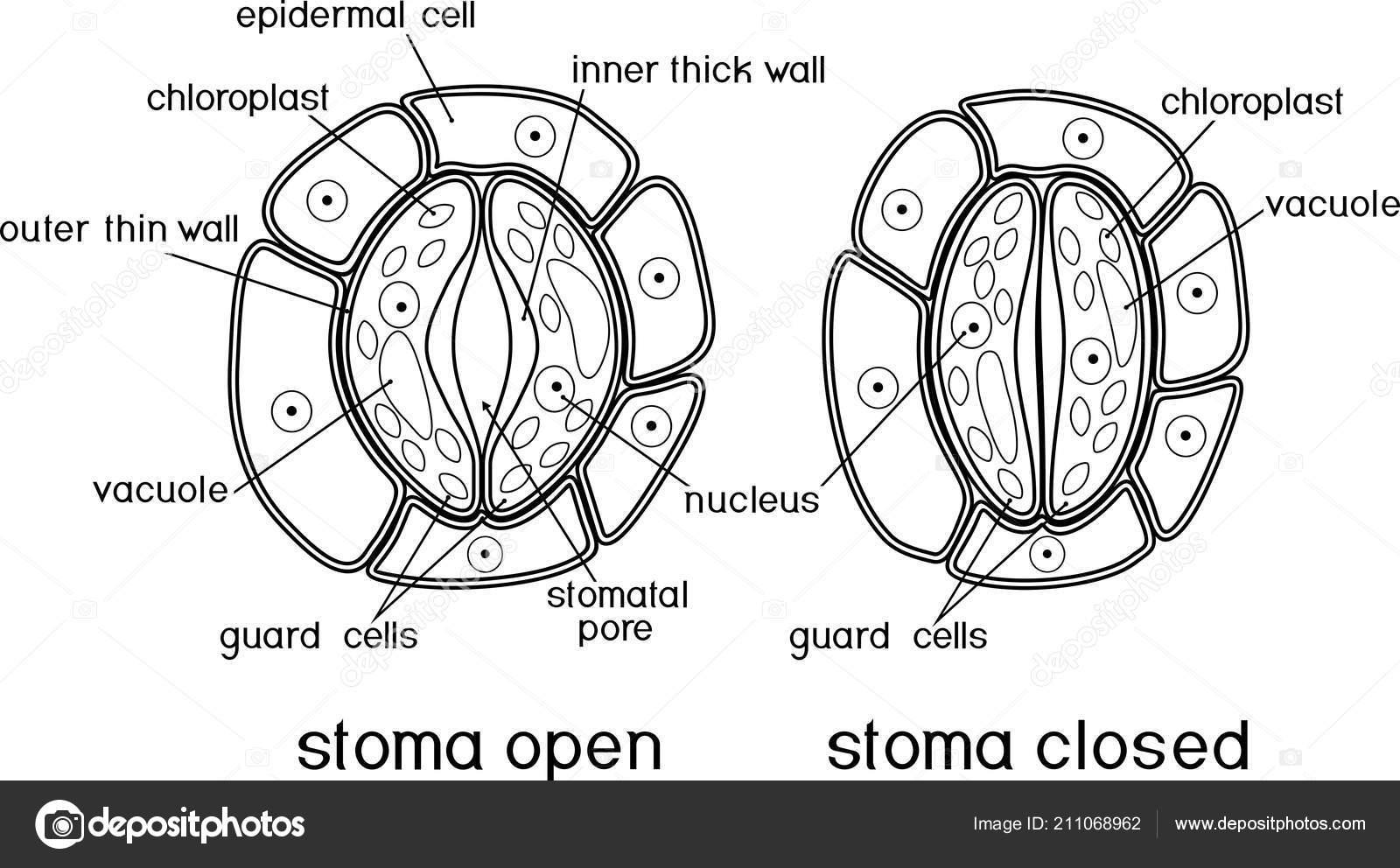 Kleurplaat Structuur Van Stomatal Complex Met Open Gesloten Stoma