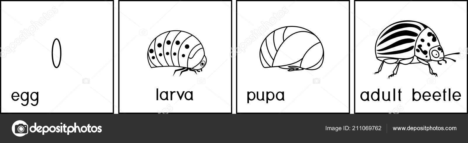 Página Para Colorear Secuencia Etapas Del Desarrollo Del Escarabajo ...