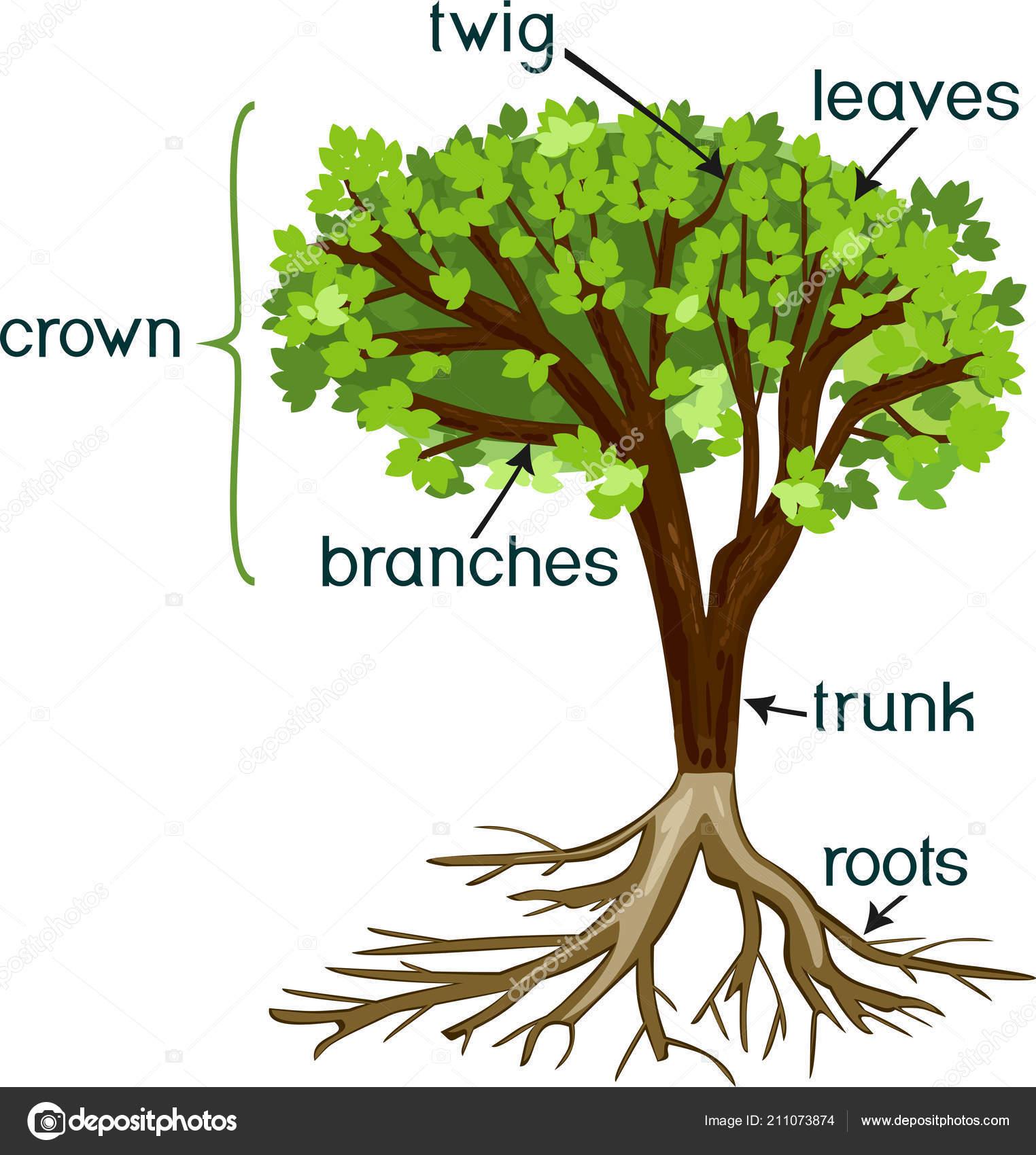 Partes planta morfolog a del rbol verde corona radicular for Cuales son las partes de un arbol