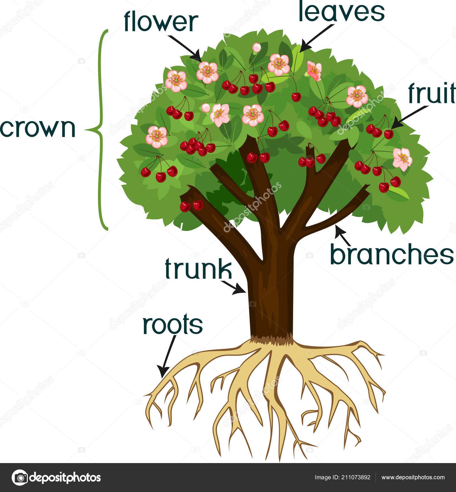 Partes planta morfolog a cerezo con sistema ra ces flores for Las partes de un arbol en ingles