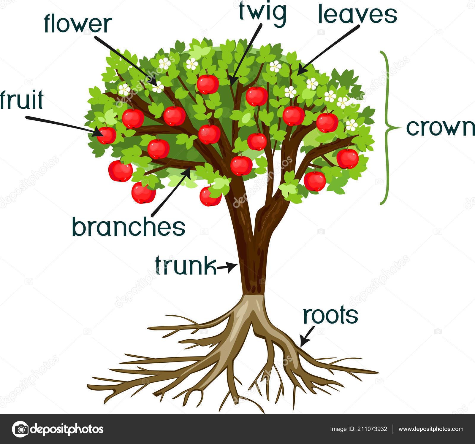 Partes planta morfolog a manzano con sistema ra ces flores for Imagenes de las partes del arbol