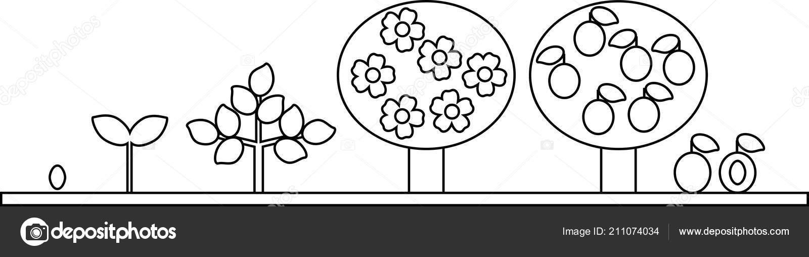 Boyama Sayfası Erik Ağacı Yaşam Döngüsü Tohumdan Büyüme