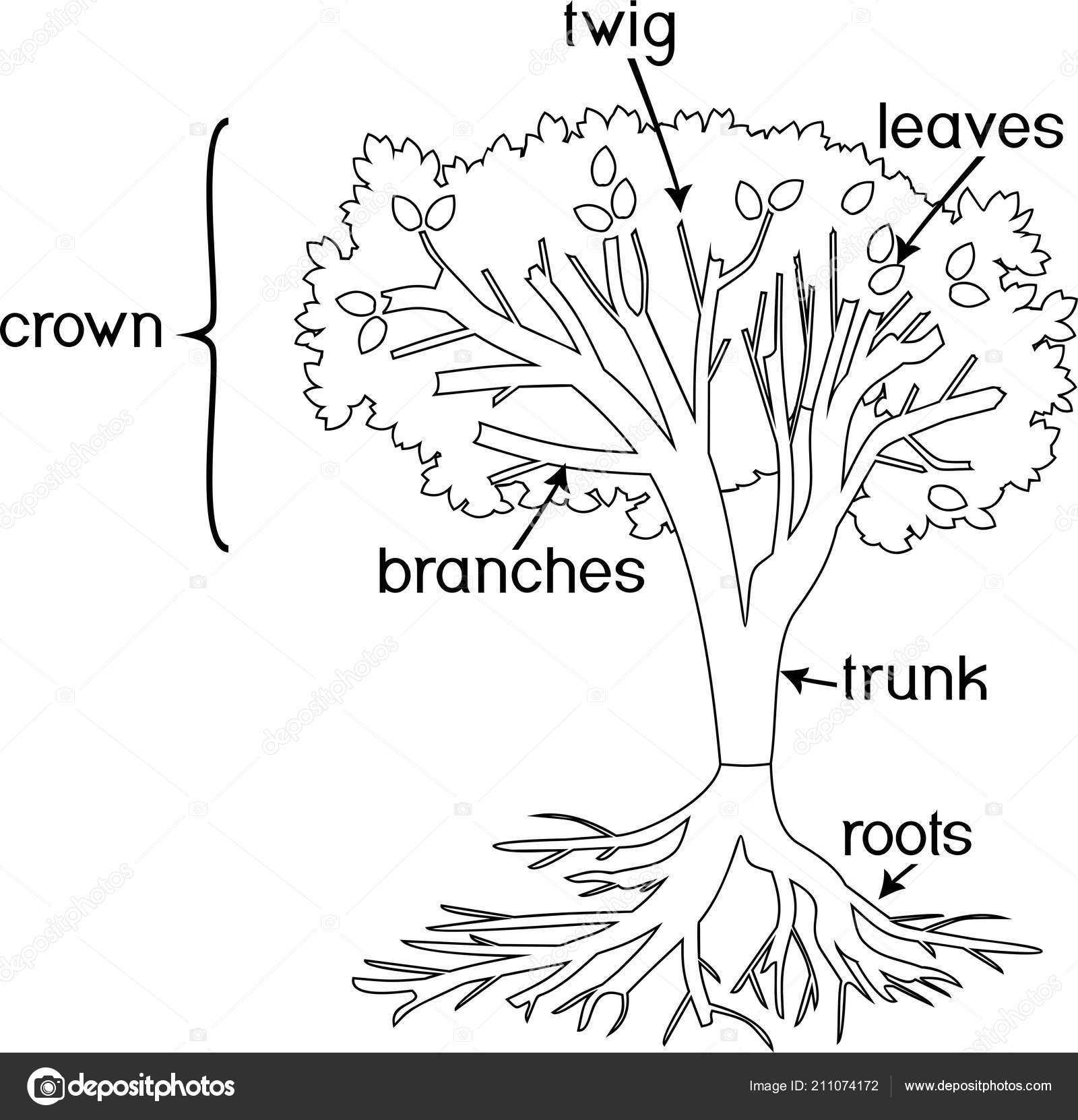 Boyama Sayfası Bitki Parçaları Morfoloji Ağacın Taç Kök Sistemi