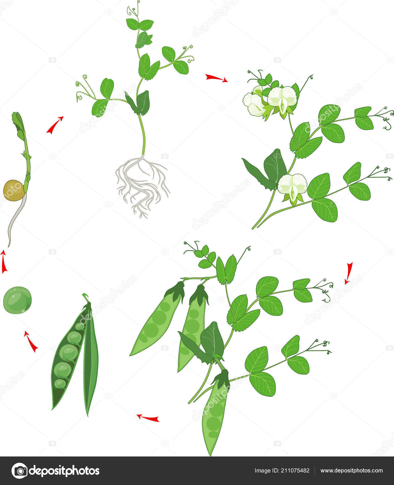 Life Cycle Pea Plant Stages Pea Growth Seed Sprout Adult