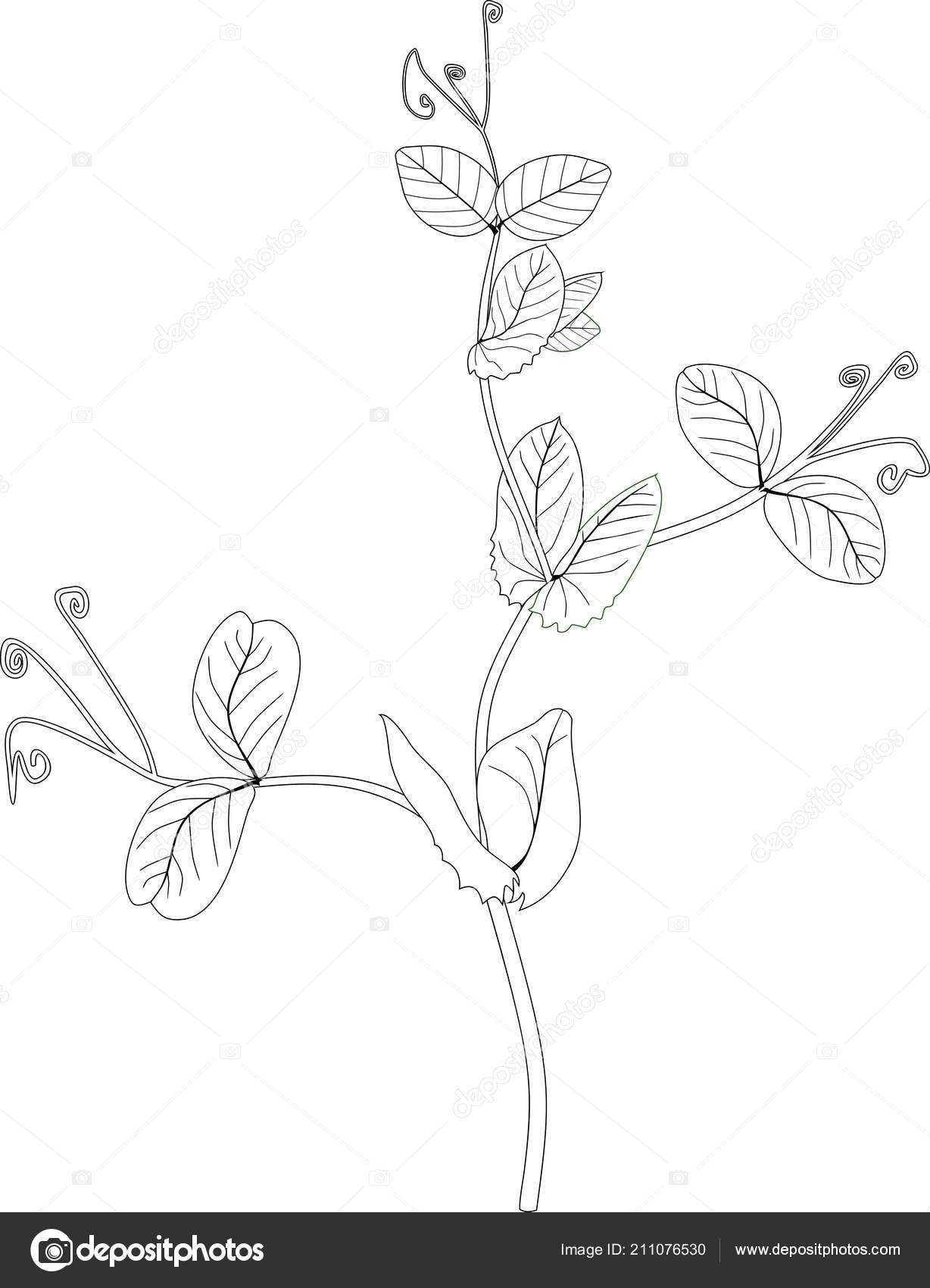 Malvorlagen Erbse Zweig Mit Blättern Stockvektor Mariaflaya
