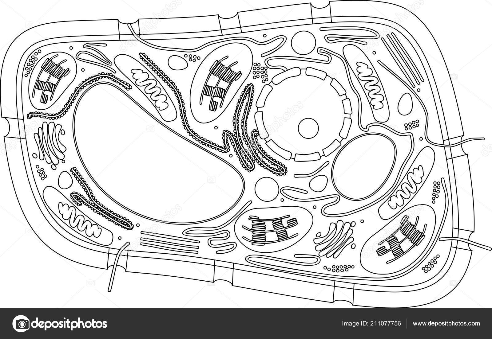 Coloring Page Structure Plant Cell Stock Vector C Mariaflaya