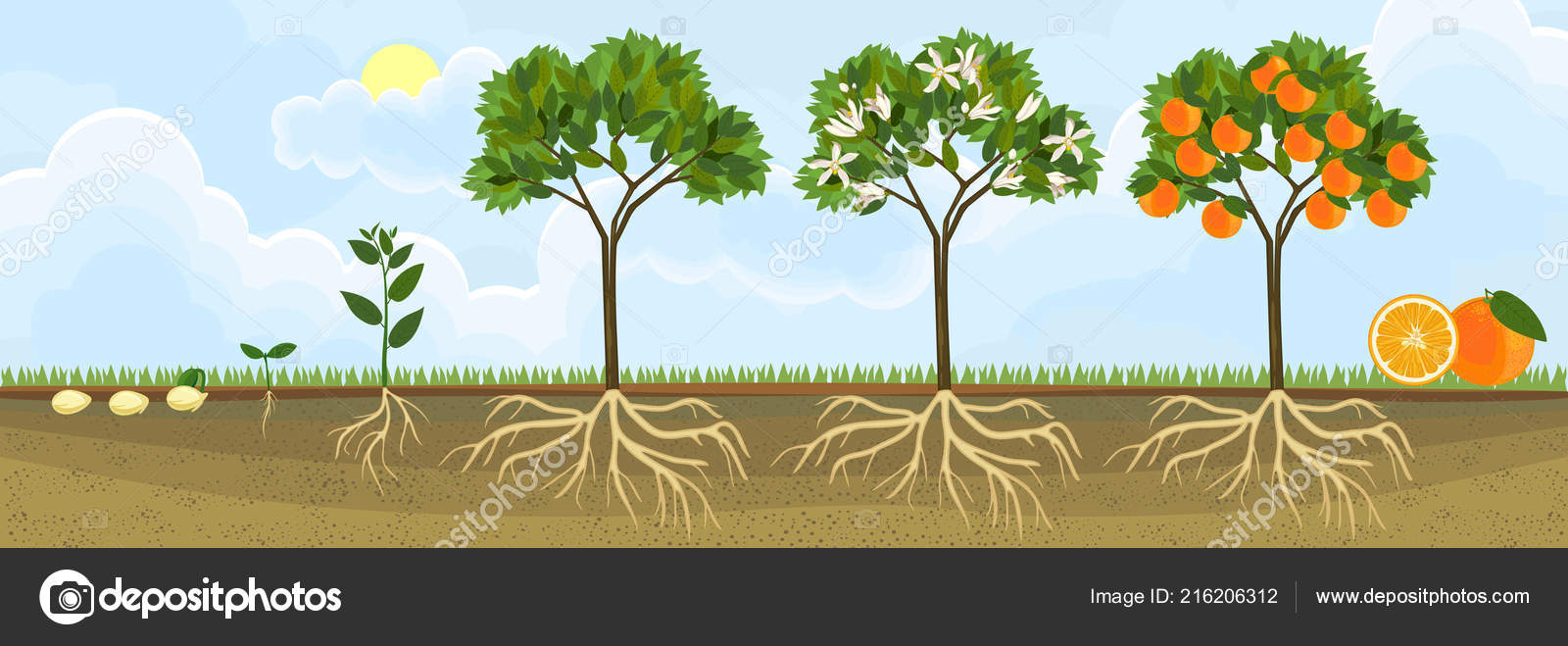 Life Cycle Orange Tree Stages Growth Seed Sprout Adult