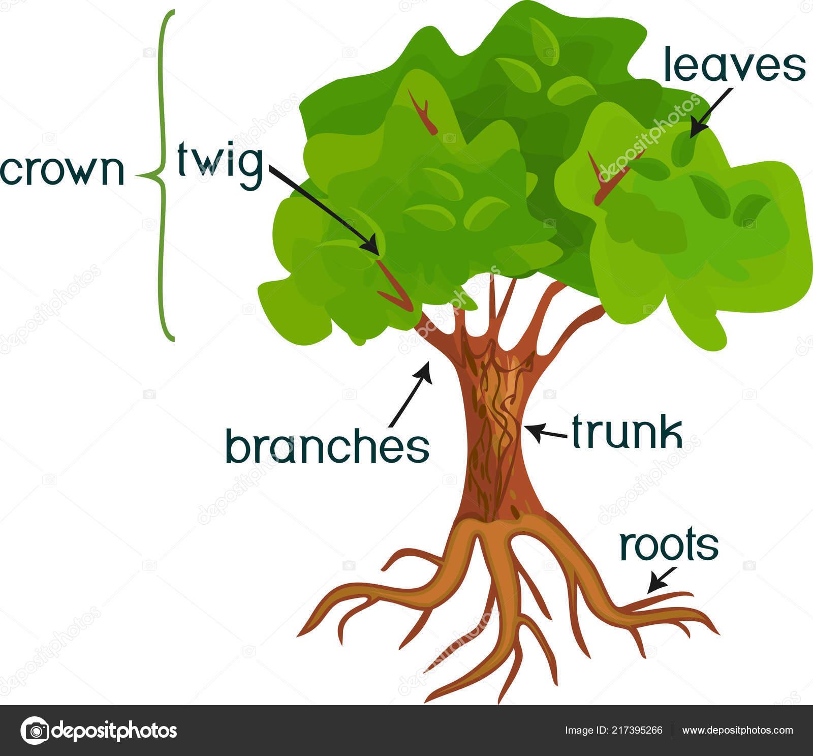 Partes planta morfolog a del rbol hoja caduca resumen con for Imagenes de las partes del arbol