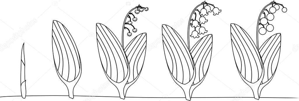 Boyama Sayfası Lily Vadi Veya Convallaria Majalis Yaşam Döngüsü