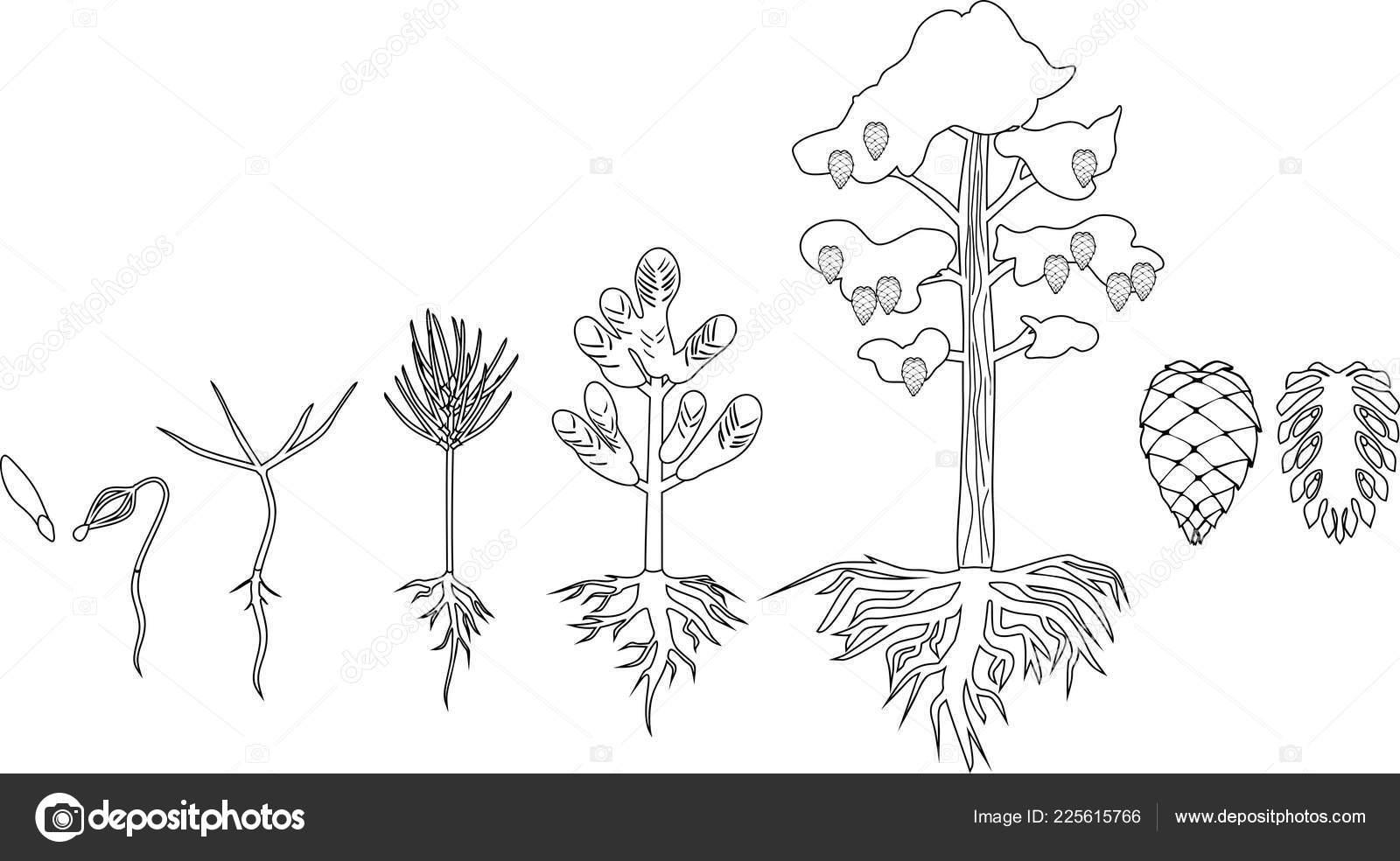 çam Ağacı Yaşam Döngüsü Ile Boyama Sayfası Olgun çam Ağacına Stok