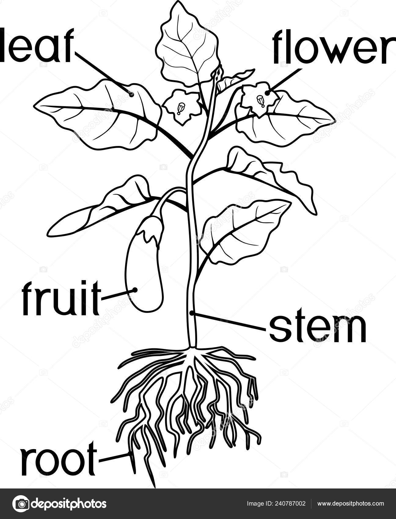 Boyama Sayfası Patlıcan Yaprak Meyve Kök Sistemi Başlıkları Ile