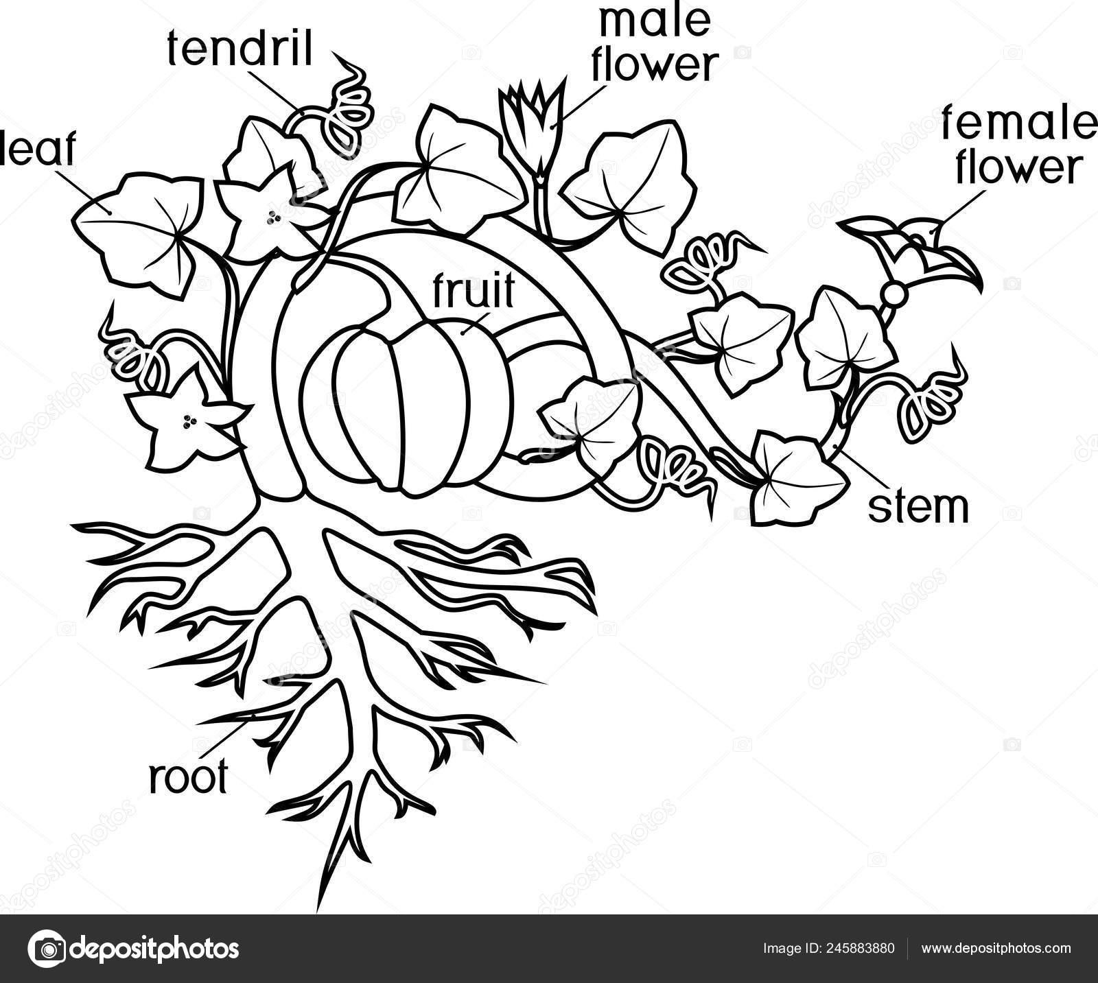 Página Para Colorear Partes Planta Morfología Planta