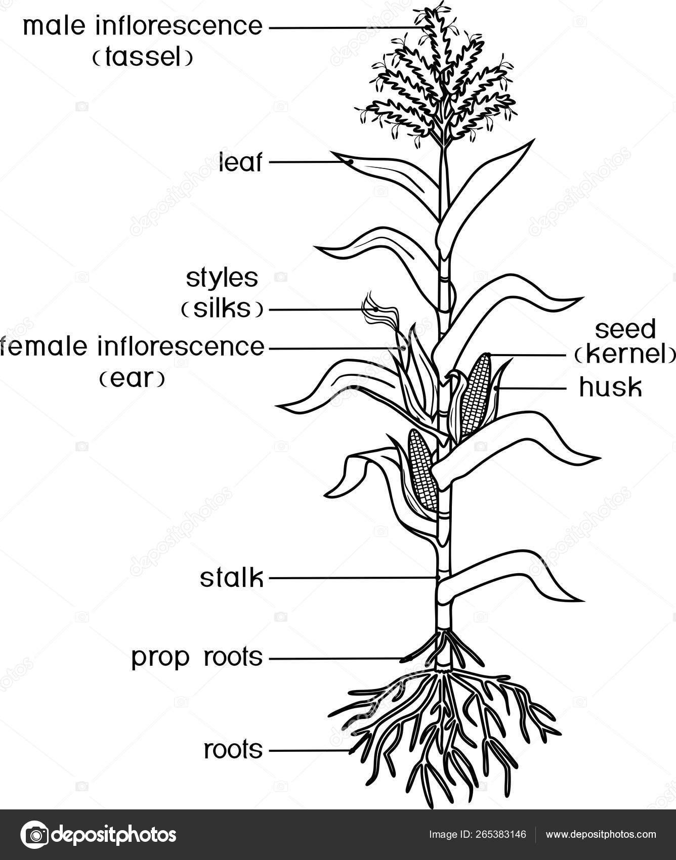Página Para Colorear Con Partes Planta Morfología Planta