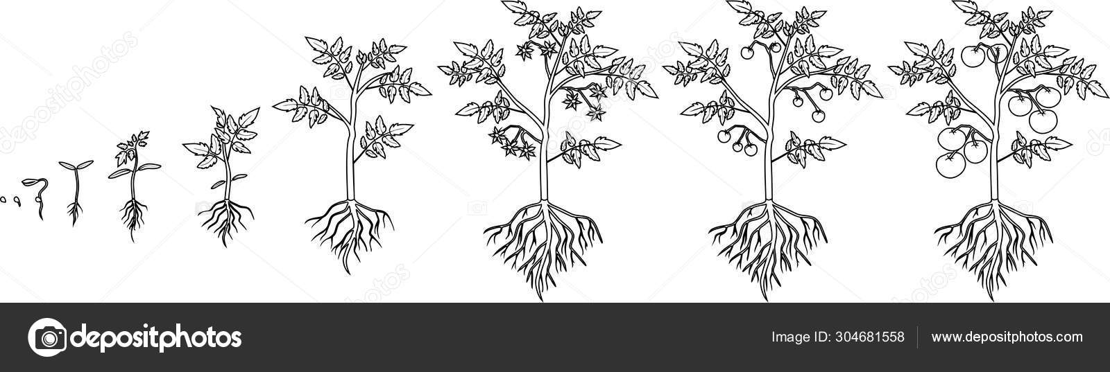 Free Life Cycle Of A Plant Coloring Page, Download Free Clip Art ... | 537x1600