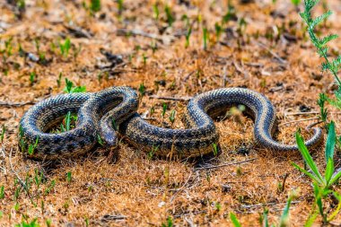 Steppe ratsnake or Elaphe dione on ground