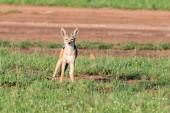 Black-backed jackal or Canis mesomelas on grass