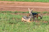 Two black-backed jackals or Canis mesomelas play