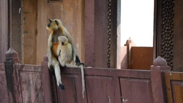 Šedá langur nebo Semnopithecus dussumieri sedí na zdi