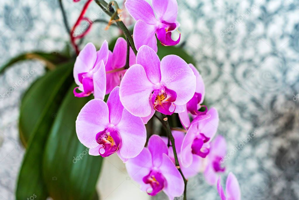 Beautiful purple orchid as home decoration close