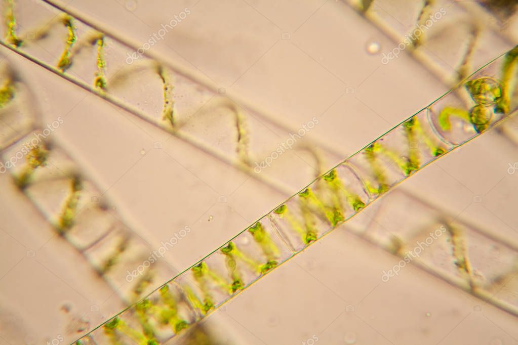 Fresh pond water plankton and algae at the microscope. Spirogyra