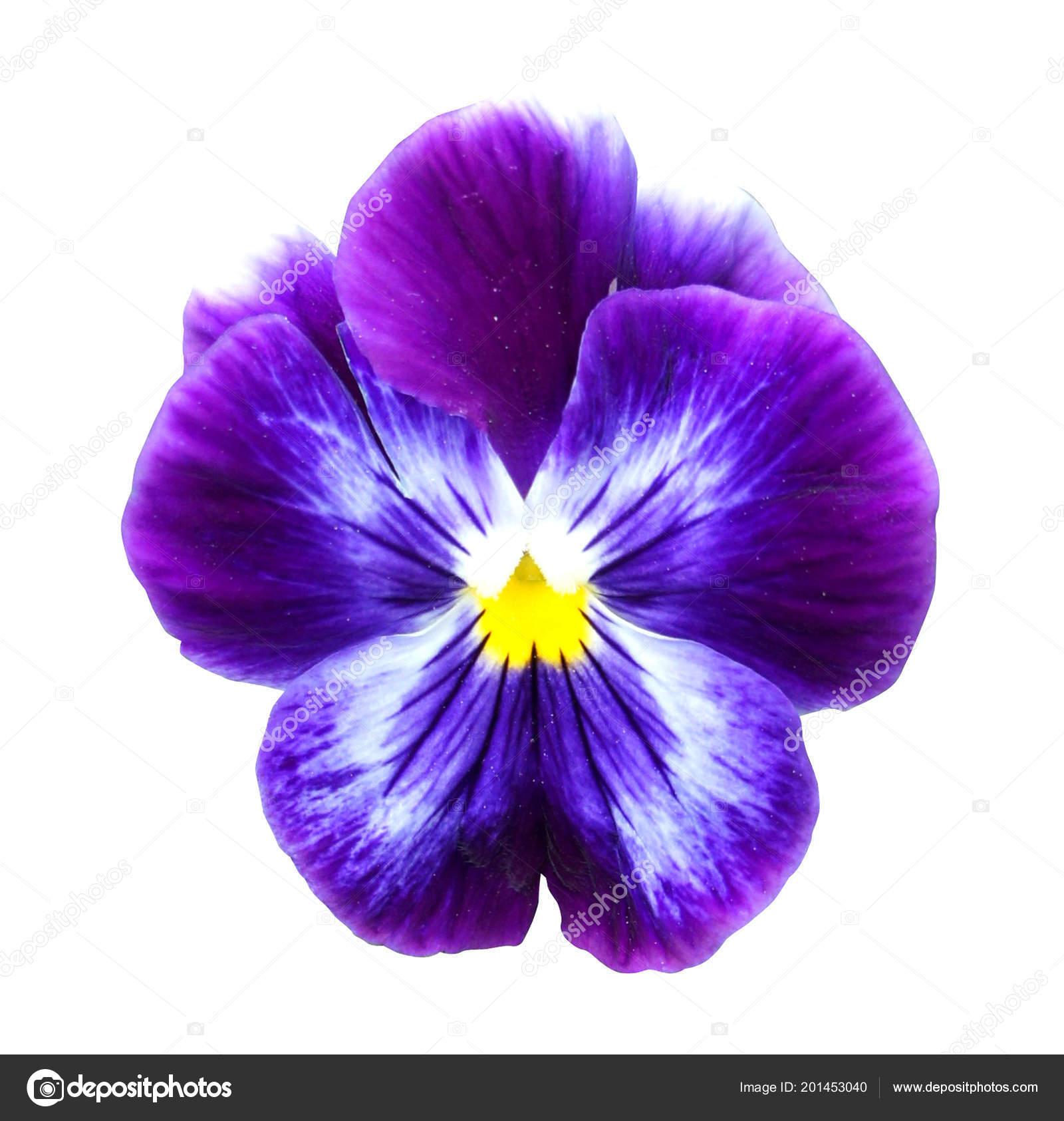 Pansy Flower Isolated White Background Shadow Purple Yellow Close Macro Stock Photo C Yuliash 201453040