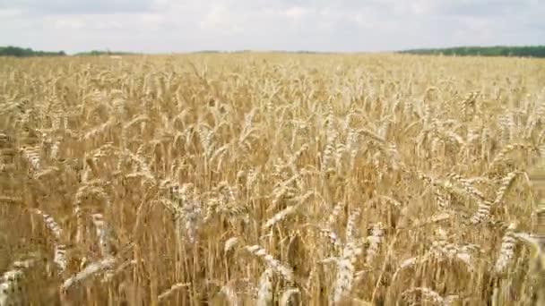 Sunny farmland wheat field with ripening ears
