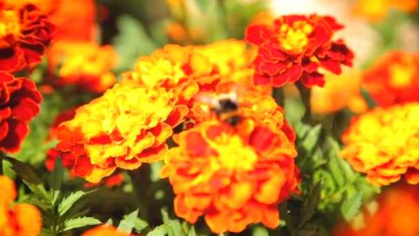 Bumblebee pollinating flower tagetes on a sunny summer day