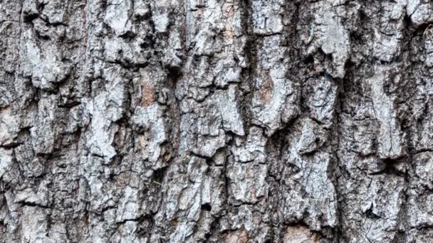 Horse chestnut bark eroded by time, plant of a centuries-old park with grooves, textures and moss on the surface that create a pattern effect.