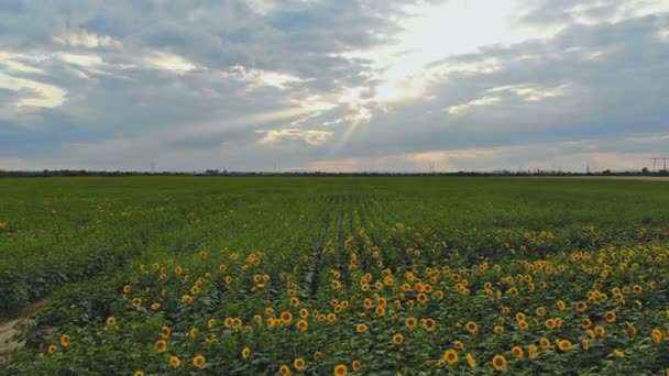 Sunflower field on sunset nature landscape panorama idyllic scene. Aerial View