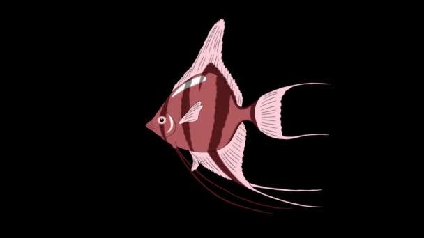 Rózsaszín scalare Vitorláshal úszik egy akvárium. Animált Looped Motion grafikai Alpha Channel.