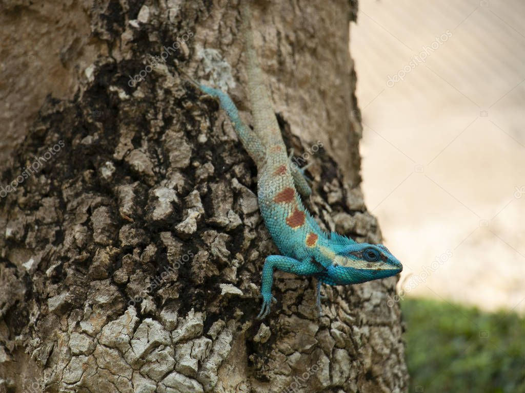 The blue chameleon changing color to blend with brown of bark behind; chameleon camouflaging (soft focus).
