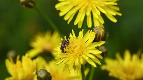 Kleine Biene sammelt Blütenstaub
