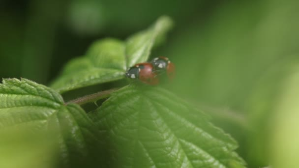 Coccinella septempunctata, two ladybirds are copulating on a leaf, close up